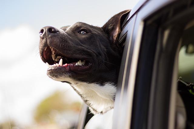 pes v okně vozu